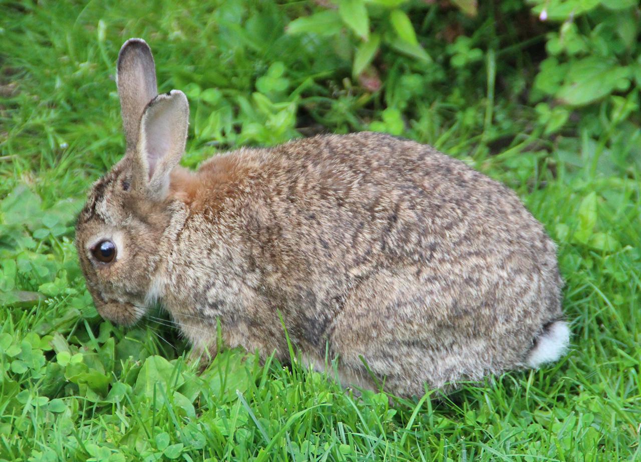keine hasenpest im saarland totes kaninchen mit rhd virus infiziert saarnews. Black Bedroom Furniture Sets. Home Design Ideas
