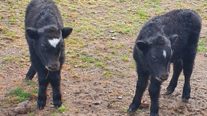 Nachwuchs im Saarbrücker Zoo: Yaks bekommen zum ersten Mal Zwillinge